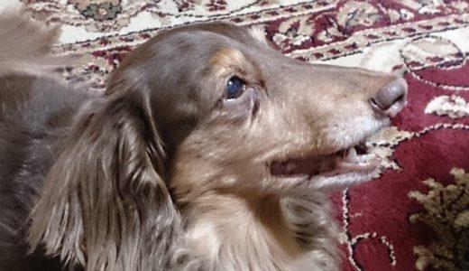 犬様の白内障対策(DHCのぱっちり)